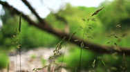 Wheat-like weeds blowing HD Stock Footage