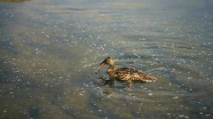 Duck Eating HD Stock Footage