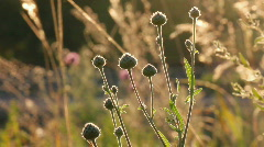 Stems of dry grass against sunset Stock Footage