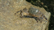 Stock Video Footage of Crab Walking Up Rock