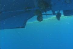 Tripletail Saltwater Fishing Stock Footage