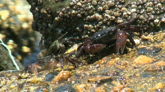 Four Crabs On Rock - stock footage