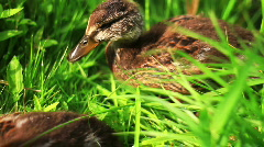 Baby ducks in grass HD Stock Footage