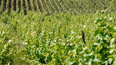 Wineyard with Graves in the Wind Stock Footage