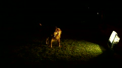 Starring Dog At Night - stock footage