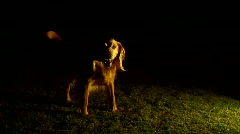 Dog Evening Cast - stock footage
