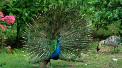 Peacock displaying plumage Stock Footage
