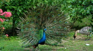 Stock Video Footage of peacock displaying plumage