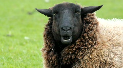 brown sheep portrait - stock footage