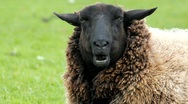 Stock Video Footage of brown sheep portrait