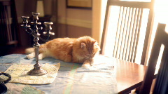 t200 bad cat behavior on table kitteh lol kitty - stock footage