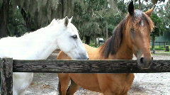 White and Brown Horse Two Stock Footage