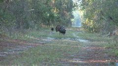 Wild Turkey Hunting Stock Footage
