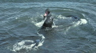 Stock Video Footage of Elephant seals V6 - HD
