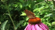 Polygonia comma butterfly H710002 022551M Stock Footage