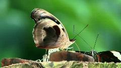 Nymphalidae Stock Footage