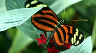 Stock Video Footage of Brush footed butterfly