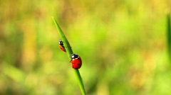 Ladybirds Stock Footage