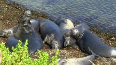Elephant seals V2 - HD Stock Footage