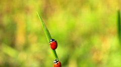 Ladybirds on green grass Stock Footage