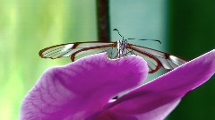 Glasswing Greta oto Stock Footage