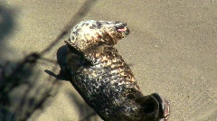 Harbor seal V1 - HD Stock Footage