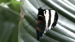 Nymphalidae - stock footage