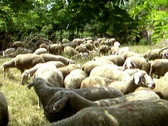 Flock of sheep in the field Stock Footage