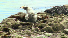 Harbor seals V2 - HD Stock Footage