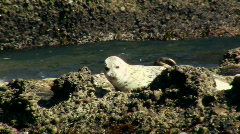 Harbor seals V4 - HD Stock Footage