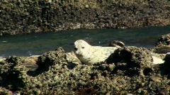 Harbor seals V4 - HD Stock Footage