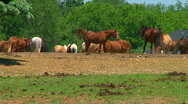 Stock Video Footage of Horses 03