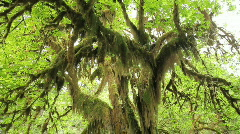 Mossy Tree Tilt Down - stock footage