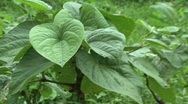 Stock Video Footage of kava plant