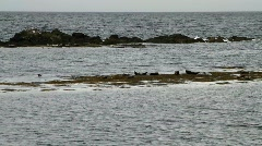 Seals in the sea - HD 1920 X 1080 Stock Footage