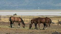 Antelope Island Horses Graze Stock Footage
