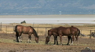 Stock Video Footage of Antelope Island Horses Graze