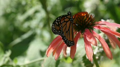 Monarch Butterfly Stock Footage