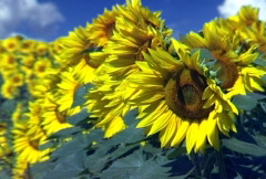 Sunflower Field Over Blue Sky - Time Lapse Stock Footage