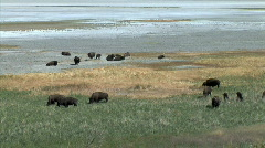 Buffalo Herd at Great Salt Lake-ws-zoom Stock Footage