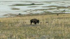Buffalo on Antelope Island-xws-zoom Stock Footage