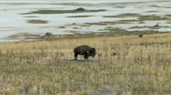 Stock Video Footage of Buffalo on Antelope Island-xws-zoom