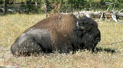Buffalo Rests-zoom Stock Footage