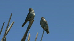 Sparrows Perched On Reeds Stock Footage