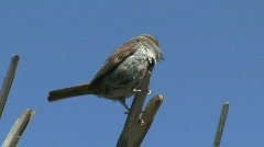 Sparrow Perched On Reed Stock Footage