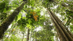 Large tree in tropical rainforest - Looking upwards to the canopy - stock footage