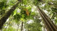 Stock Video Footage of Large tree in tropical rainforest - Looking upwards to the canopy