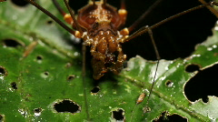 Giant harvestman or Phalangid feeding  - stock footage