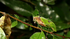Leaf mimic katydid (Pycnopalpa cf. bicordata) Stock Footage