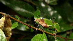 Stock Video Footage of Leaf mimic katydid (Pycnopalpa cf. bicordata)